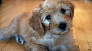 How to Choose a Goldendoodle Breeder in New England
