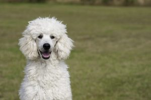 How to Choose a Poodle Breeder in Colorado