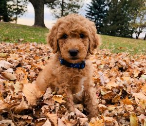 How to Choose a Poodle Breeder in Michigan