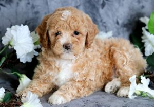 How to Choose a Poodle Breeder in Pennsylvania