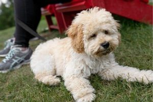 How to Stop Maltipoo Shedding