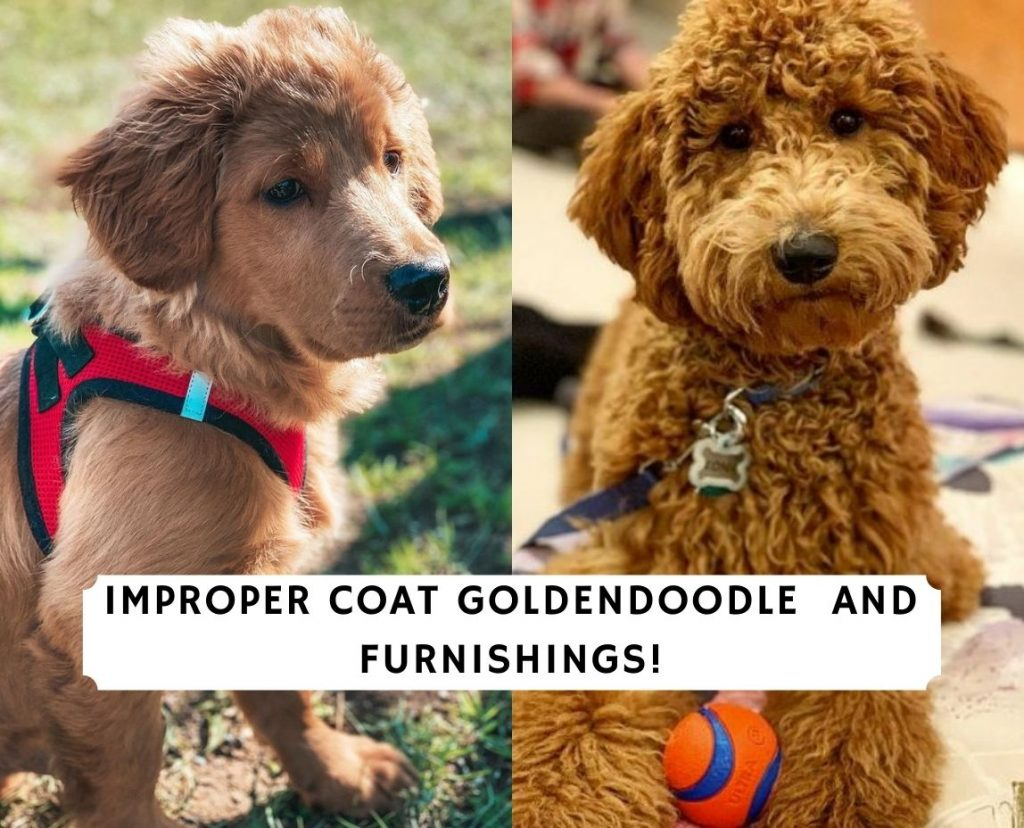 Improper Coat Goldendoodle and Furnishings