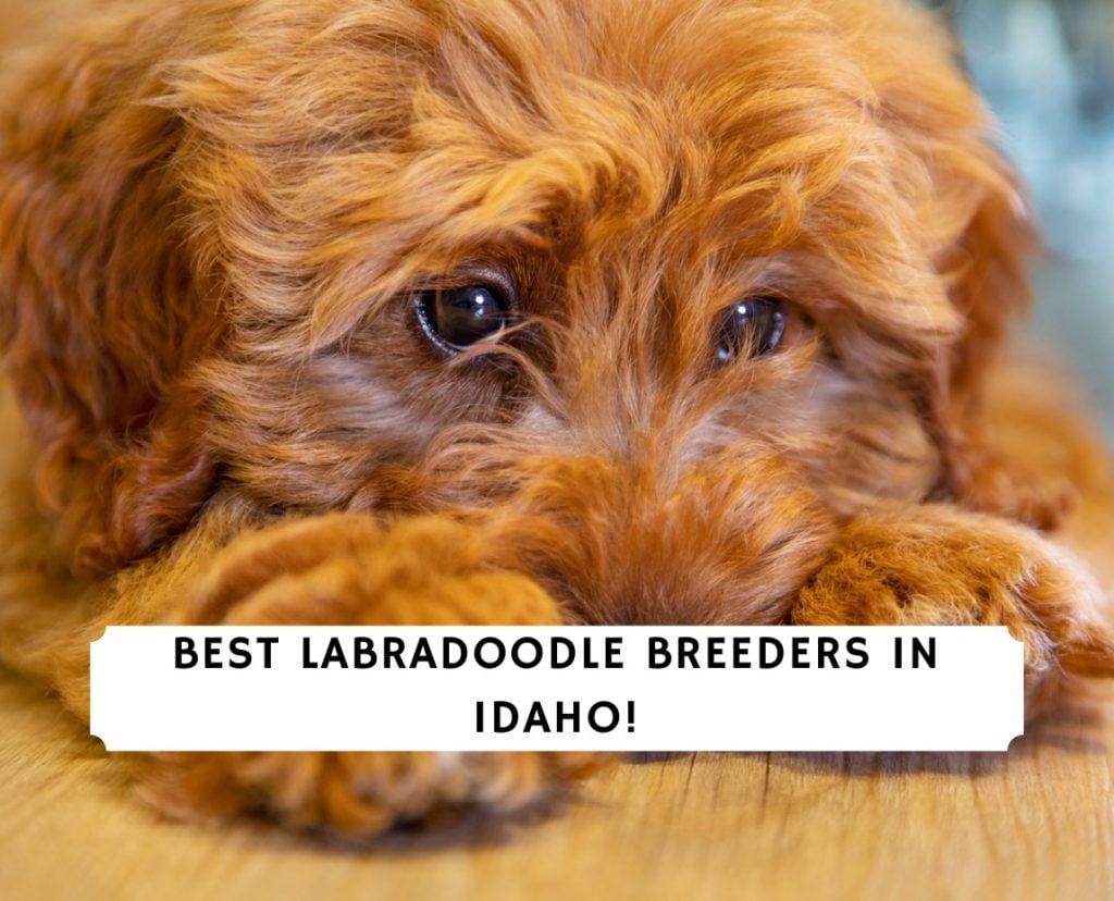 Labradoodle Breeders In Idaho