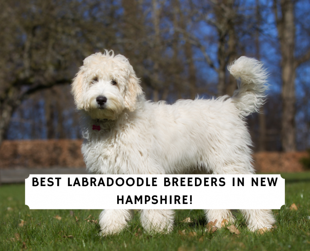 Labradoodle Breeders in New Hampshire