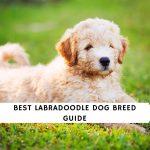 Labradoodle Dog Breed Guide