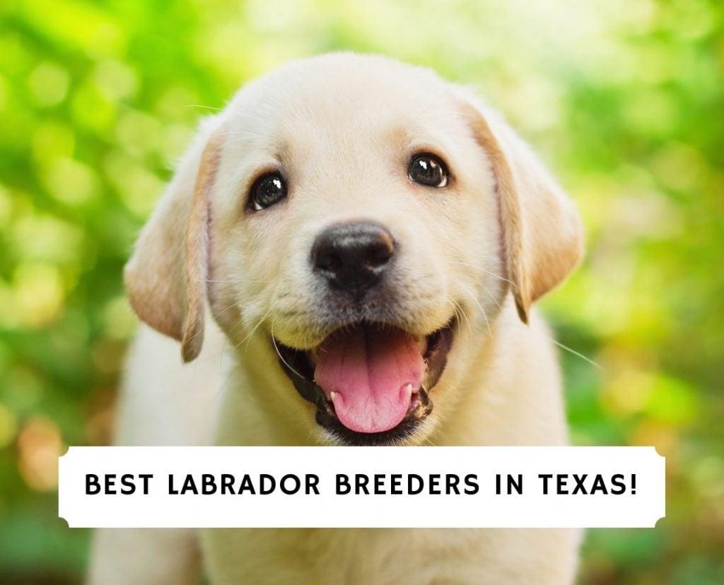 Labrador Breeders in Texas