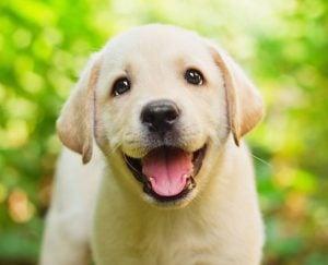 Labrador puppies Texas
