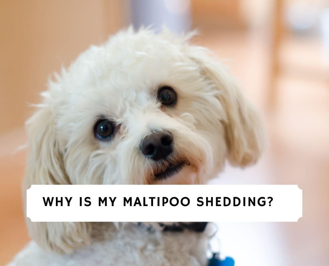 Maltipoo Shedding