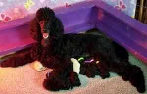Natalie's Poodles