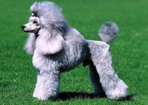 Nobility Standard Poodles