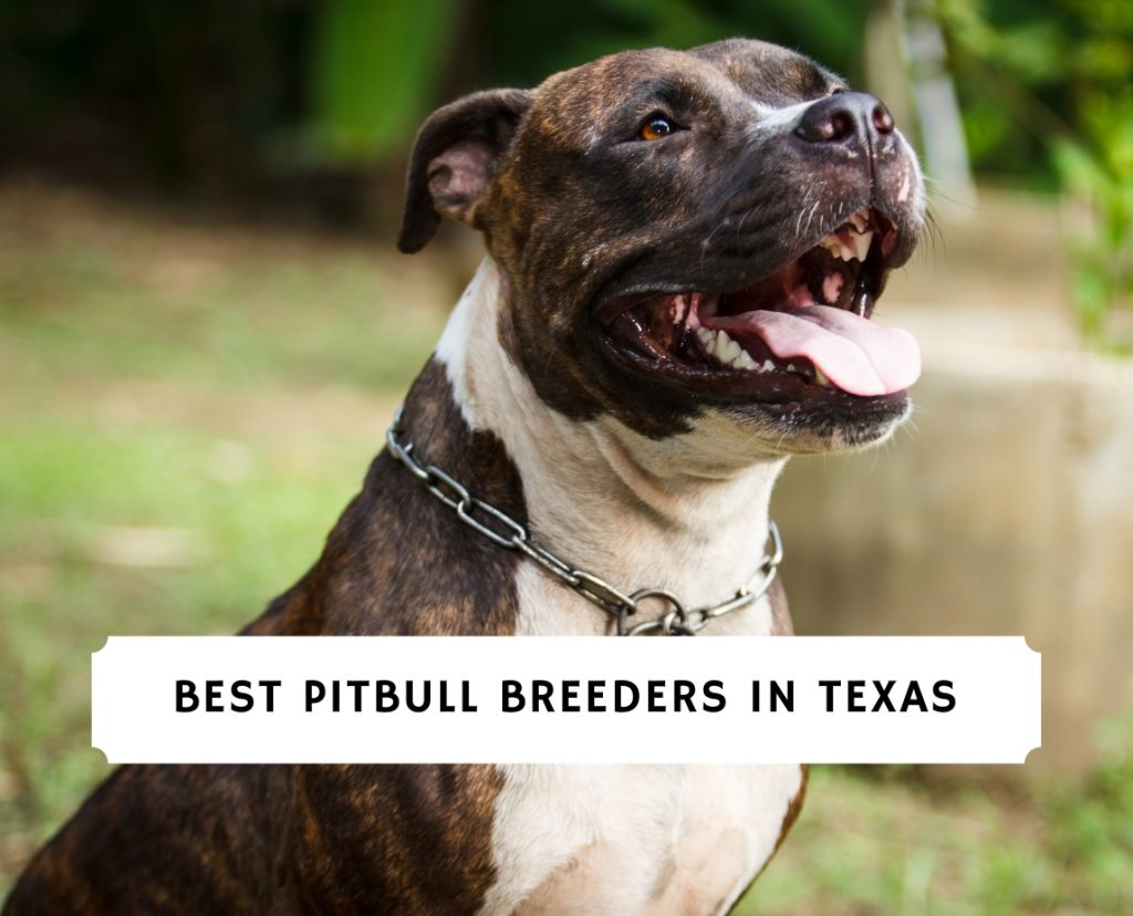 Pitbull Breeders in Texas