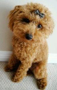 Poco A Poco Toy Poodles