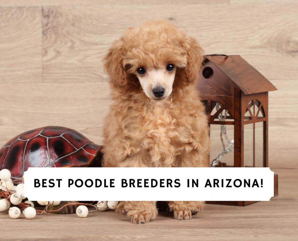 Poodle Breeders in Arizona