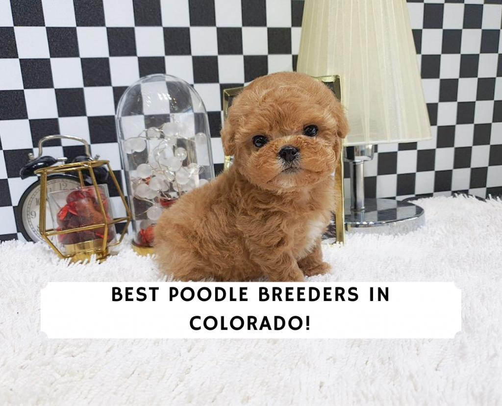 Poodle Breeders in Colorado