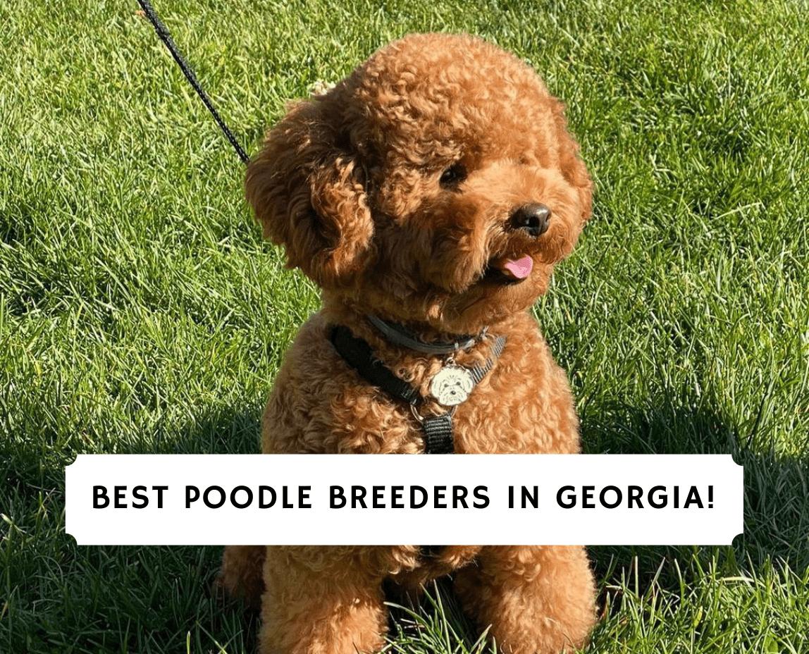 Poodle Breeders in Georgia