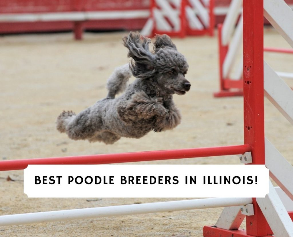 Poodle Breeders in Illinois