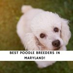 Poodle Breeders in Maryland
