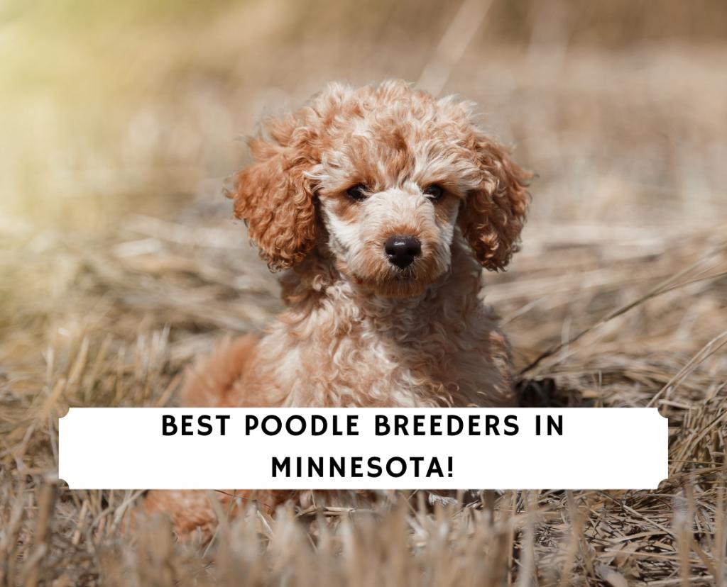 Poodle Breeders in Minnesota