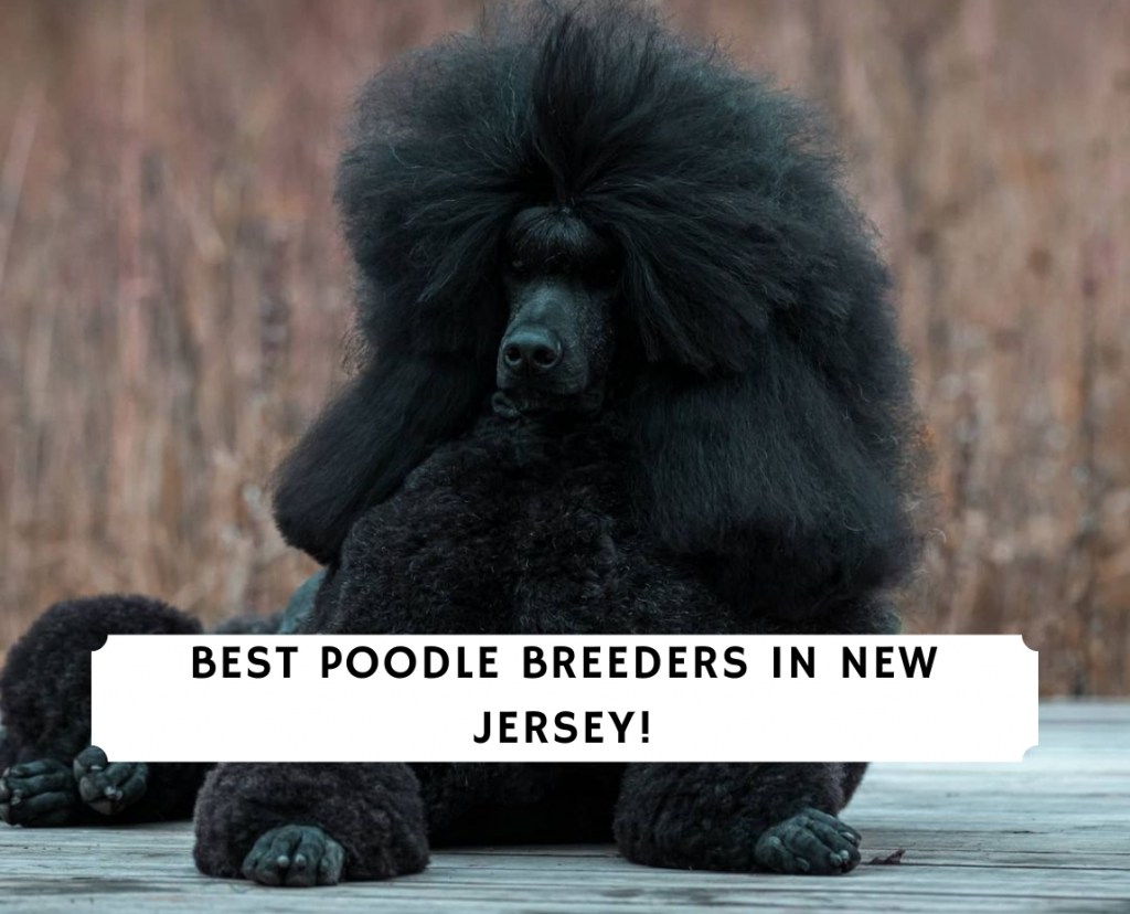 Poodle Breeders in New Jersey