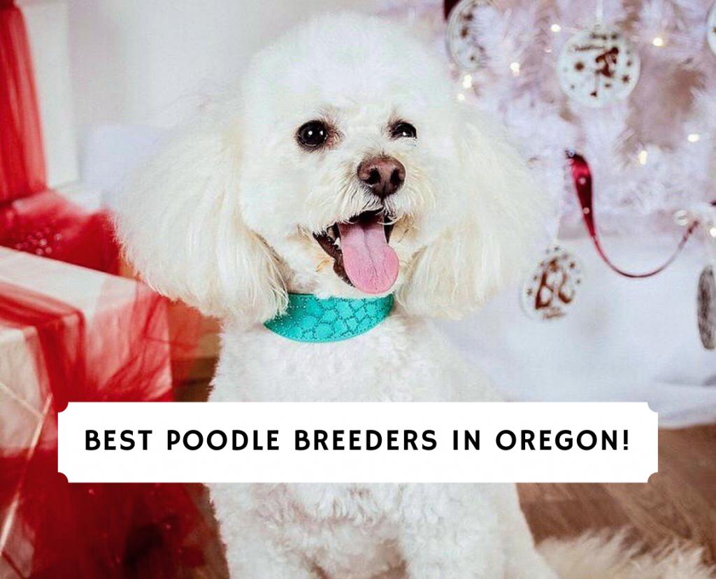 Poodle Breeders in Oregon