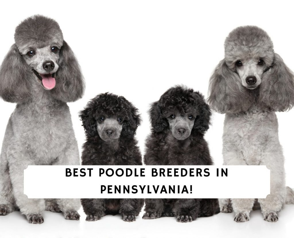 Poodle Breeders in Pennsylvania