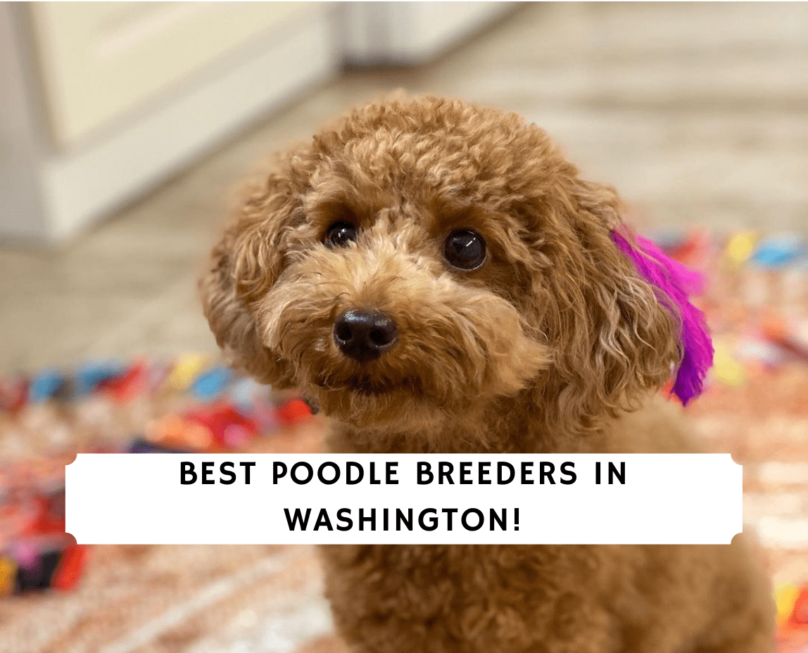 Poodle Breeders in Washington