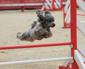 Poodle Puppies in Illinois