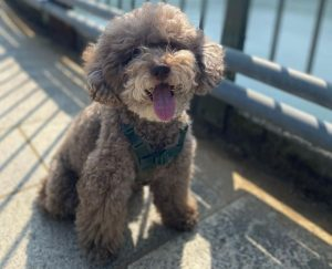 Poodle Puppies in Ohio