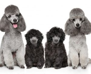 Poodle Puppies in Pennsylvania