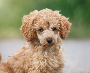 Poodle Puppies in Texas