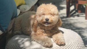 PuppySpot Havapoos