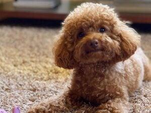 PuppySpot Poodles Texas