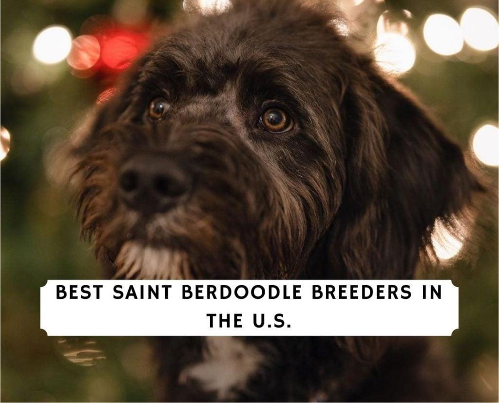 Saint Berdoodle Breeders Breeders in the U.S.