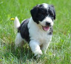 Saint Berdoodle Puppies for Sale