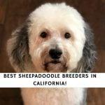 Sheepadoodle Breeders in California