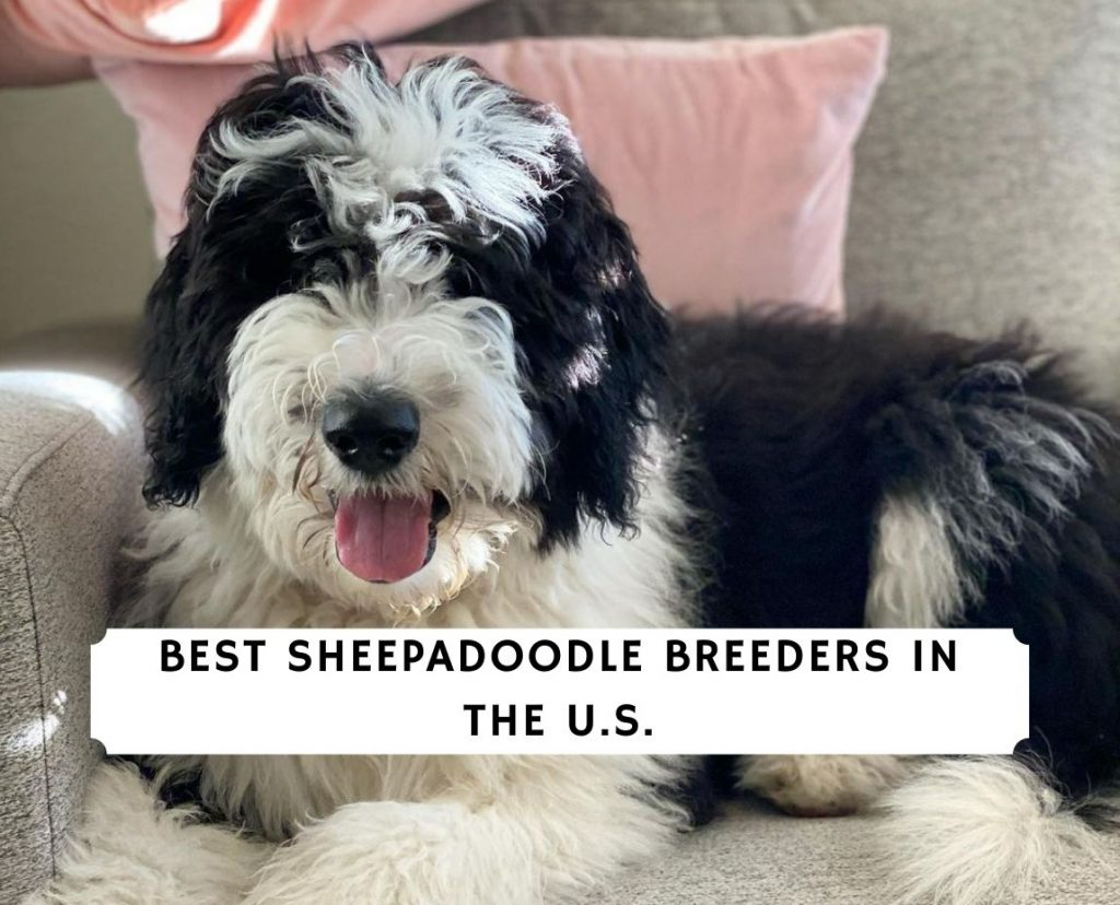 Sheepadoodle Breeders in the U.S.