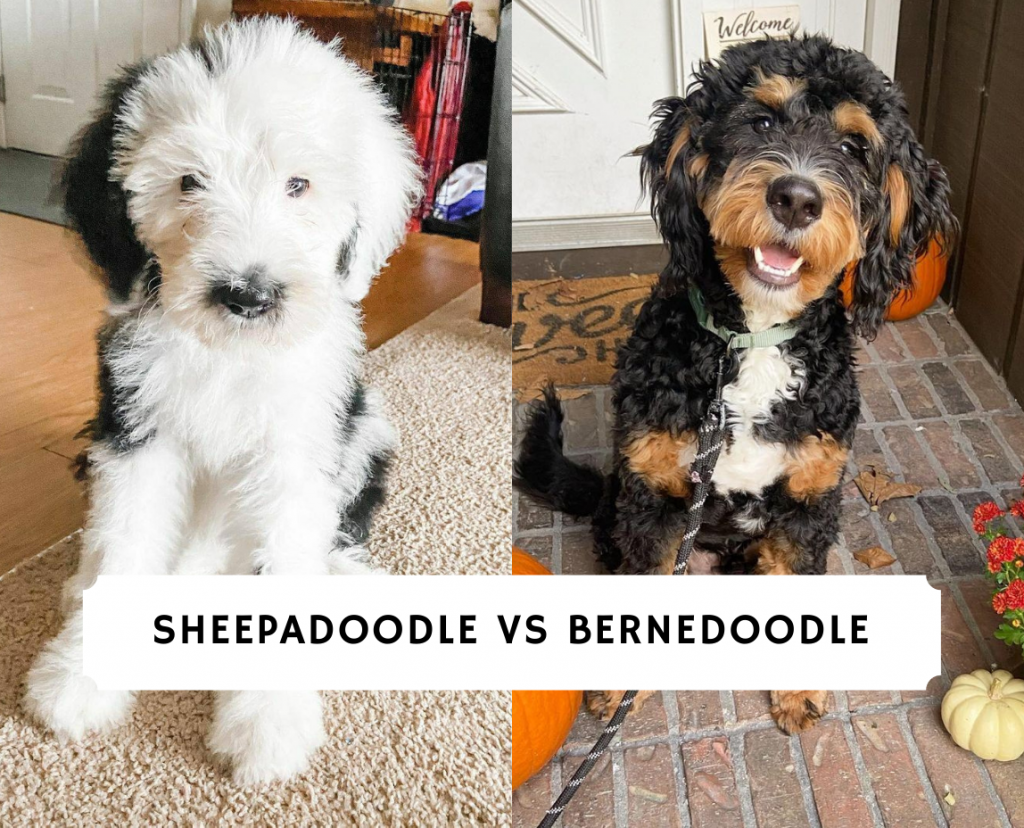 Sheepadoodle vs Bernedoodle