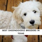 Sheepadoodles in Texas