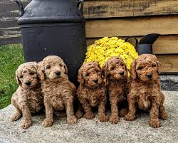 4 Best Goldendoodle Breeders In New England 2021 We Love Doodles