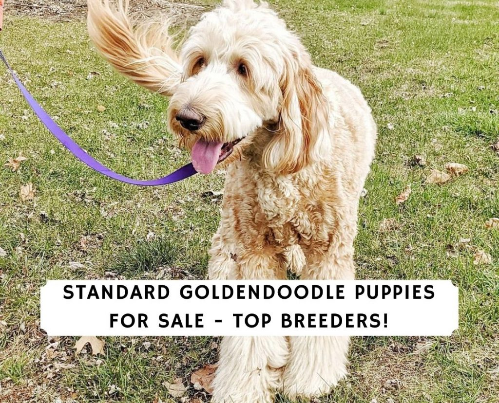 Standard Goldendoodle Puppies for Sale