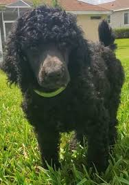 Standard Poodle Puppies by Raven