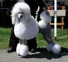 Stargazer Poodles