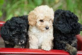 Stonewick Poodles