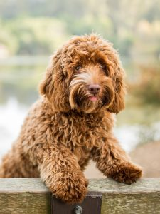 Labradoodle puppies for sale In Hawaii