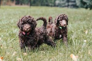 Trillium Woods Poodles