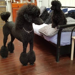 Waggin Tails Poodles