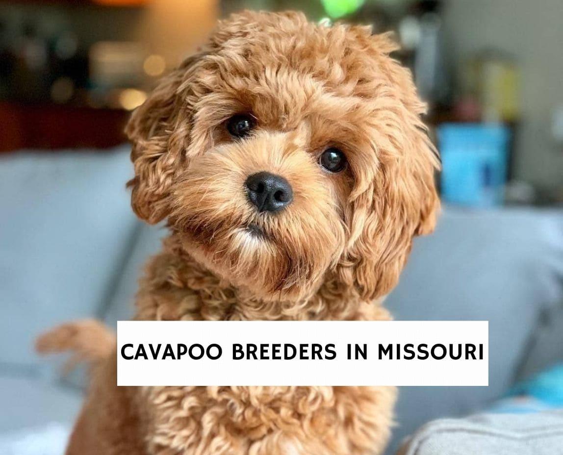 Cavapoo Breeders In Missouri