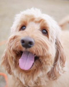 characteristics of a Labradoodle