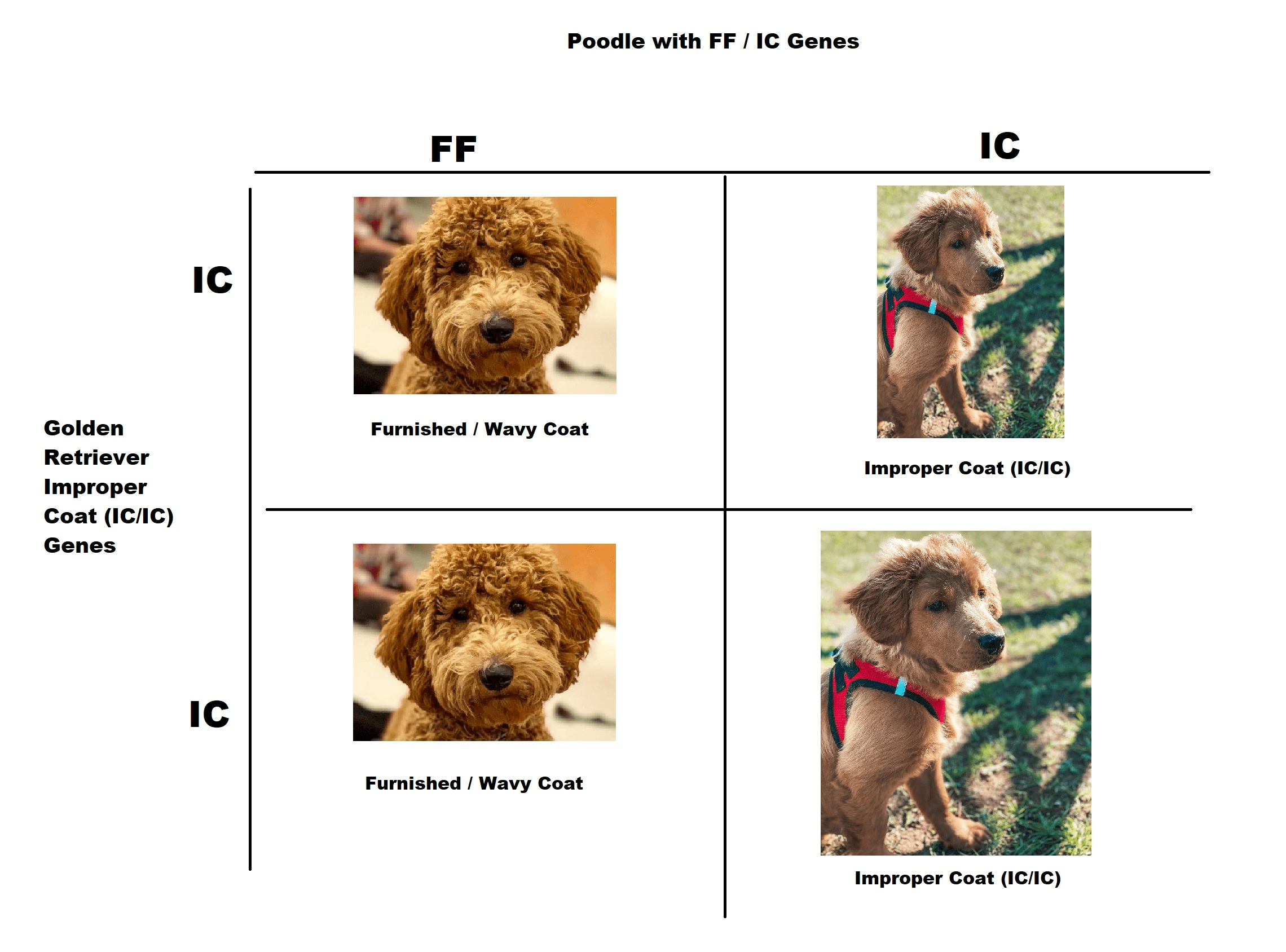 goldendoodle improper coat and furnished genes chart