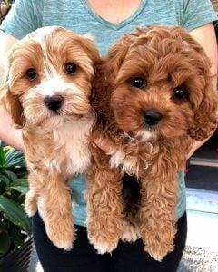 CAVAPOO Puppies for sale IN GEORGIA